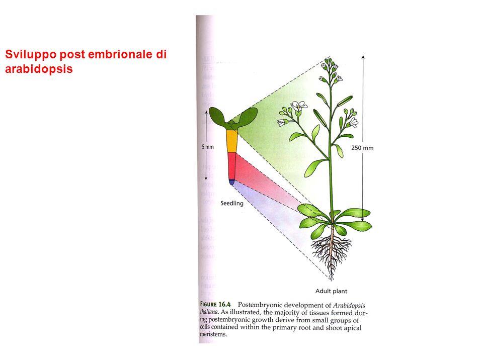 Caratteristiche cellulari dellembriogenesi di arabidopsis