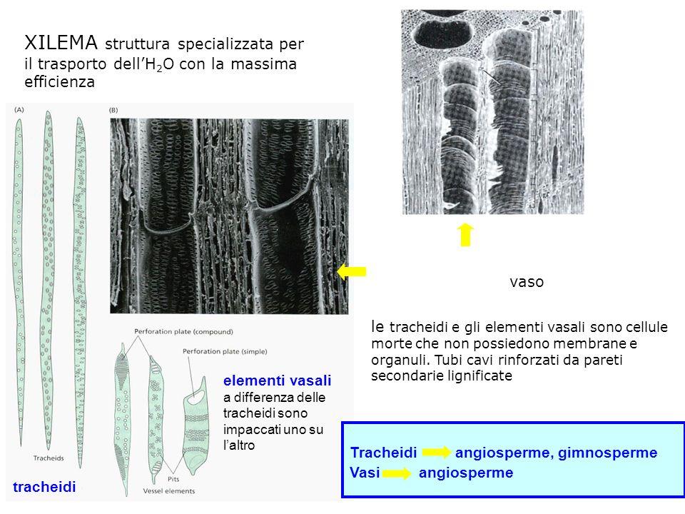 XILEMA struttura specializzata per il trasporto dellH 2 O con la massima efficienza tracheidi elementi vasali a differenza delle tracheidi sono impaccati uno su laltro sovrapposizione di elementi vasali a formare un vaso Tracheidi angiosperme, gimnosperme Vasi angiosperme le tracheidi e gli elementi vasali sono cellule morte che non possiedono membrane e organuli.