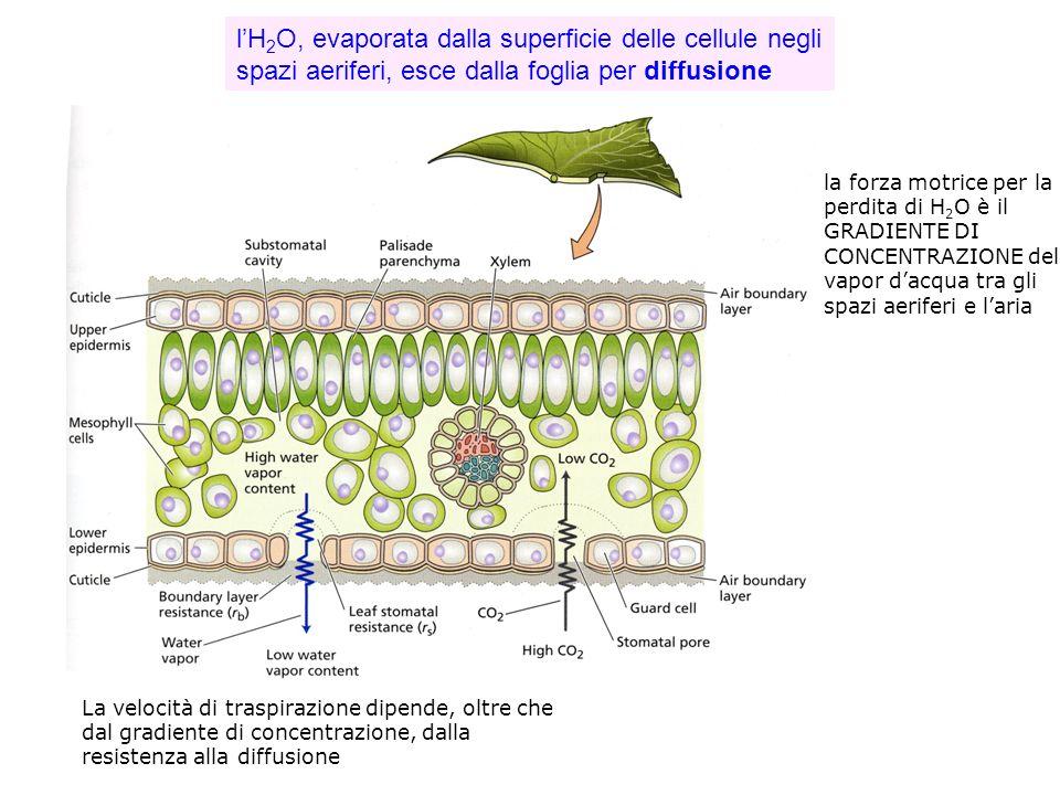 lH 2 O, evaporata dalla superficie delle cellule negli spazi aeriferi, esce dalla foglia per diffusione la forza motrice per la perdita di H 2 O è il GRADIENTE DI CONCENTRAZIONE del vapor dacqua tra gli spazi aeriferi e laria La velocità di traspirazione dipende, oltre che dal gradiente di concentrazione, dalla resistenza alla diffusione