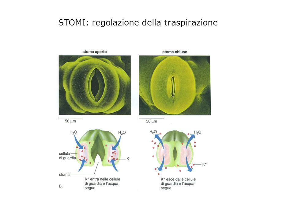 Le cellule meristematiche si dividono per generare altre cellule.