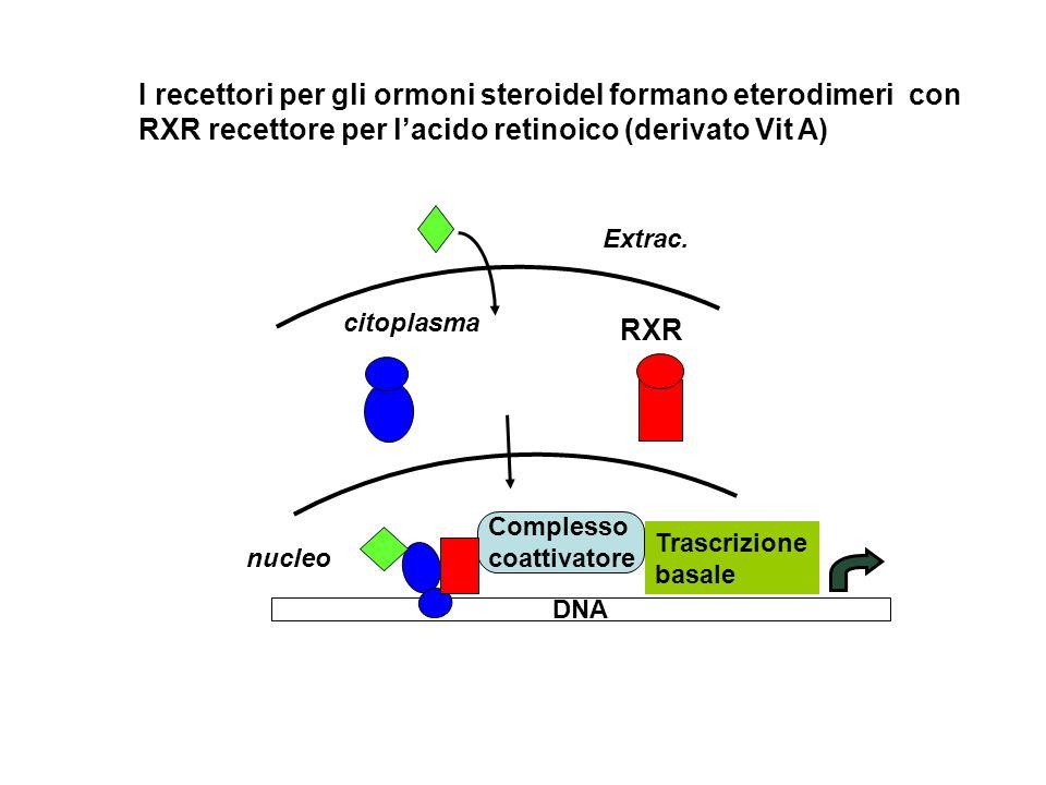 RXR Complesso coattivatore DNA Trascrizione basale I recettori per gli ormoni steroideI formano eterodimeri con RXR recettore per lacido retinoico (derivato Vit A) Extrac.