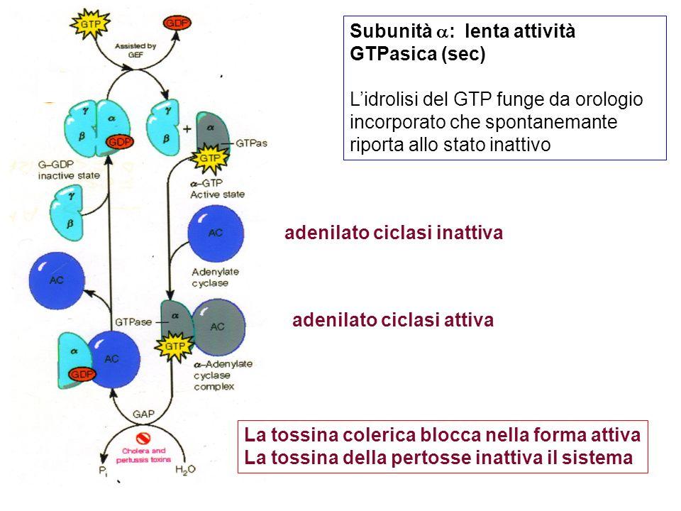 adenilato ciclasi inattiva adenilato ciclasi attiva Subunità : lenta attività GTPasica (sec) Lidrolisi del GTP funge da orologio incorporato che spontanemante riporta allo stato inattivo La tossina colerica blocca nella forma attiva La tossina della pertosse inattiva il sistema