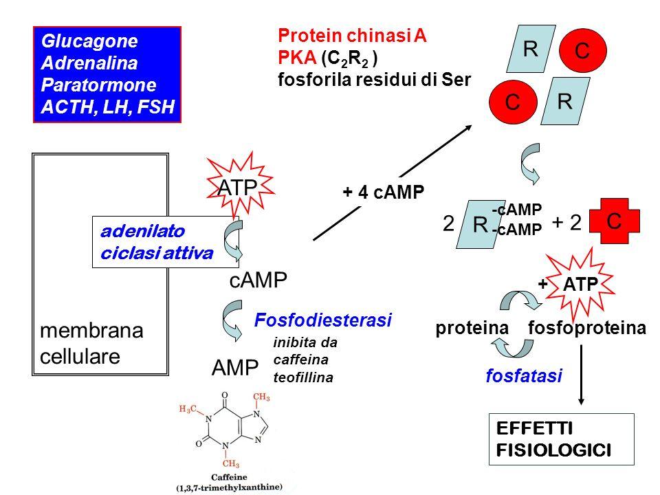 Glucagone Adrenalina Paratormone ACTH, LH, FSH membrana cellulare adenilato ciclasi attiva ATP cAMP inibita da caffeina teofillina AMP R R C C Protein chinasi A PKA (C 2 R 2 ) fosforila residui di Ser + 4 cAMP 2 R -cAMP + 2 C proteina fosfoproteina + ATP fosfatasi EFFETTI FISIOLOGICI Fosfodiesterasi