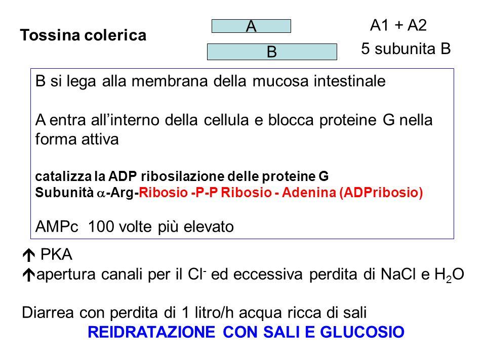 Tossina colerica B A 5 subunita B A1 + A2 B si lega alla membrana della mucosa intestinale A entra allinterno della cellula e blocca proteine G nella forma attiva catalizza la ADP ribosilazione delle proteine G Subunità -Arg-Ribosio -P-P Ribosio - Adenina (ADPribosio) AMPc 100 volte più elevato PKA apertura canali per il Cl - ed eccessiva perdita di NaCl e H 2 O Diarrea con perdita di 1 litro/h acqua ricca di sali REIDRATAZIONE CON SALI E GLUCOSIO