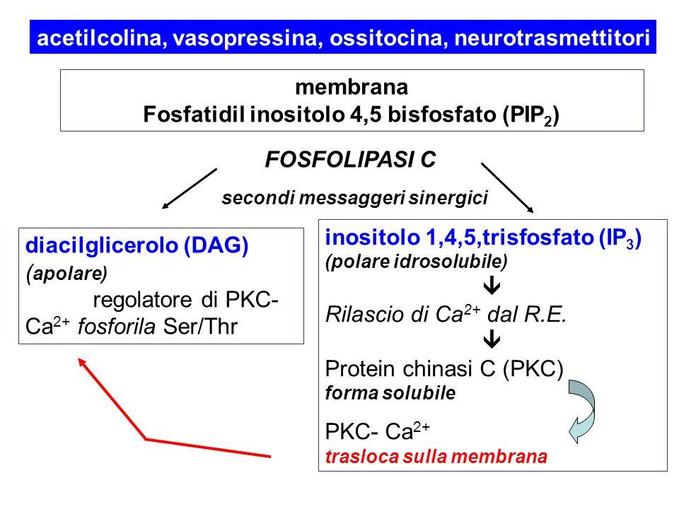 acetilcolina, vasopressina, ossitocina, neurotrasmettitori membrana Fosfatidil inositolo 4,5 bisfosfato (PIP 2 ) FOSFOLIPASI C diacilglicerolo (DAG) ( apolare) regolatore di PKC- Ca 2+ fosforila Ser/Thr inositolo 1,4,5,trisfosfato (IP 3 ) (polare idrosolubile) Rilascio di Ca 2+ dal R.E.