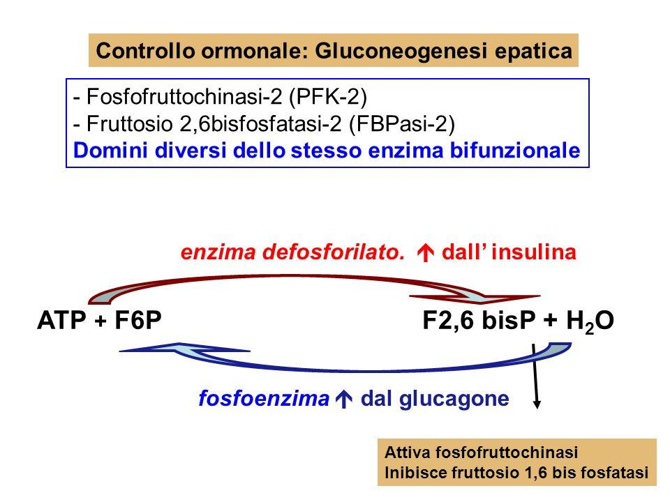Controllo ormonale: Gluconeogenesi epatica - Fosfofruttochinasi-2 (PFK-2) - Fruttosio 2,6bisfosfatasi-2 (FBPasi-2) Domini diversi dello stesso enzima bifunzionale enzima defosforilato.