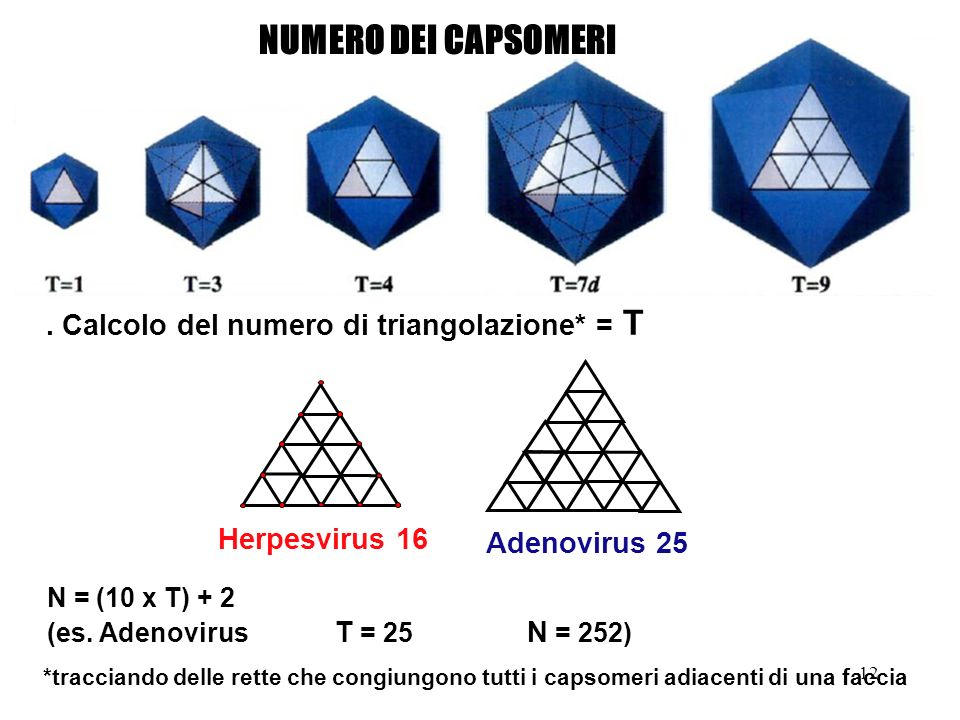 12 NUMERO DEI CAPSOMERI N = (10 x T) + 2 (es. Adenovirus T = 25 N = 252) *tracciando delle rette che congiungono tutti i capsomeri adiacenti di una fa