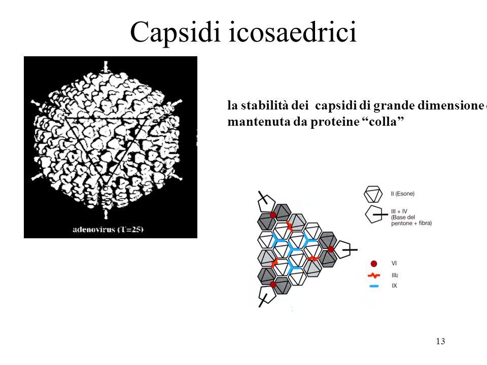 13 Capsidi icosaedrici la stabilità dei capsidi di grande dimensione è mantenuta da proteine colla