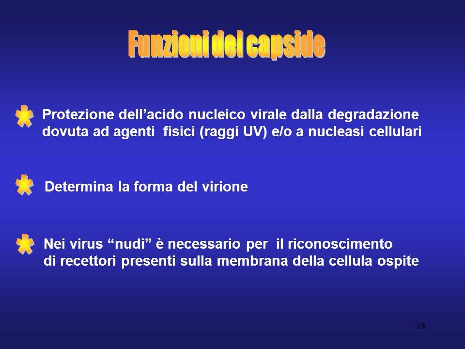 18 Protezione dellacido nucleico virale dalla degradazione dovuta ad agenti fisici (raggi UV) e/o a nucleasi cellulari Determina la forma del virione