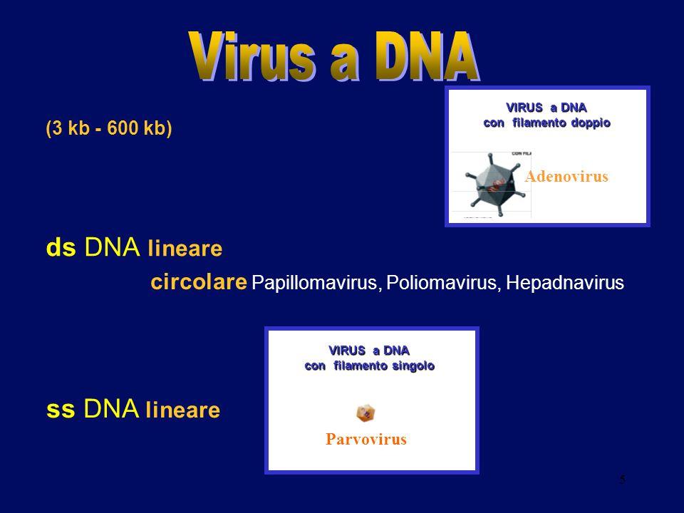 5 (3 kb - 600 kb) ds DNA lineare VIRUS a DNA con filamento doppio Adenovirus VIRUS a DNA con filamento singolo Parvovirus ss DNA lineare circolare Pap