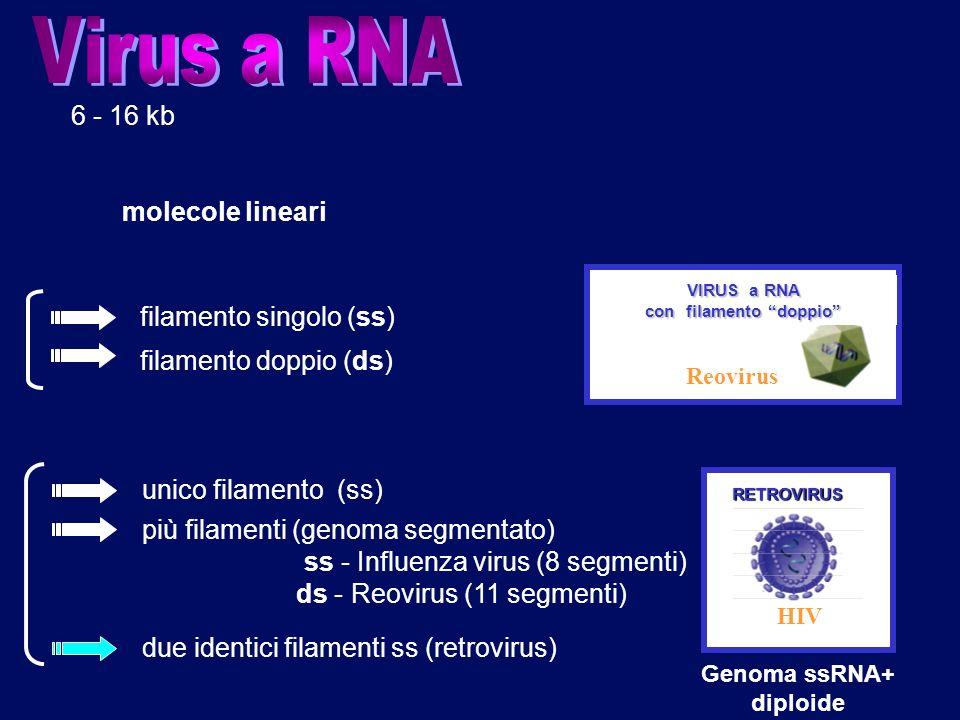 6 molecole lineari 6 - 16 kb filamento singolo (ss) VIRUS a RNA con filamento doppio Reovirus RETROVIRUS HIV Genoma ssRNA+ diploide unico filamento (s