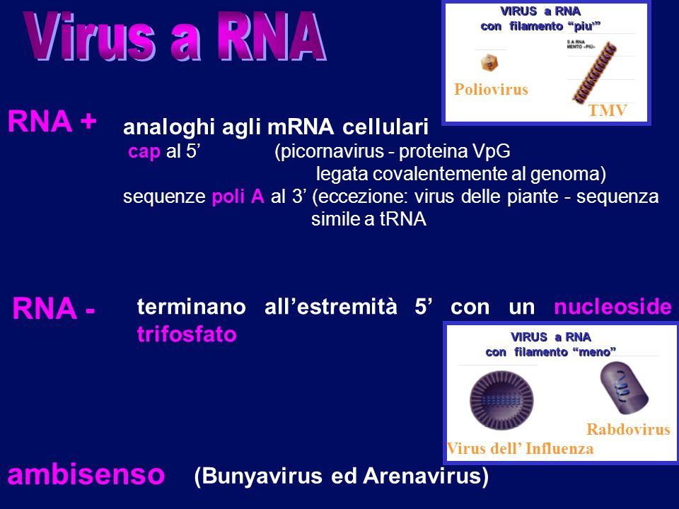 7 RNA + analoghi agli mRNA cellulari cap al 5 (picornavirus - proteina VpG legata covalentemente al genoma) sequenze poli A al 3 (eccezione: virus del