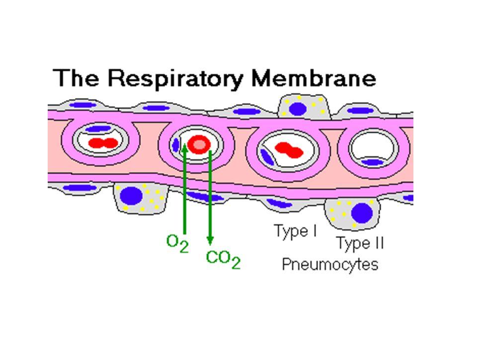 Alveoli polmonari al TEM