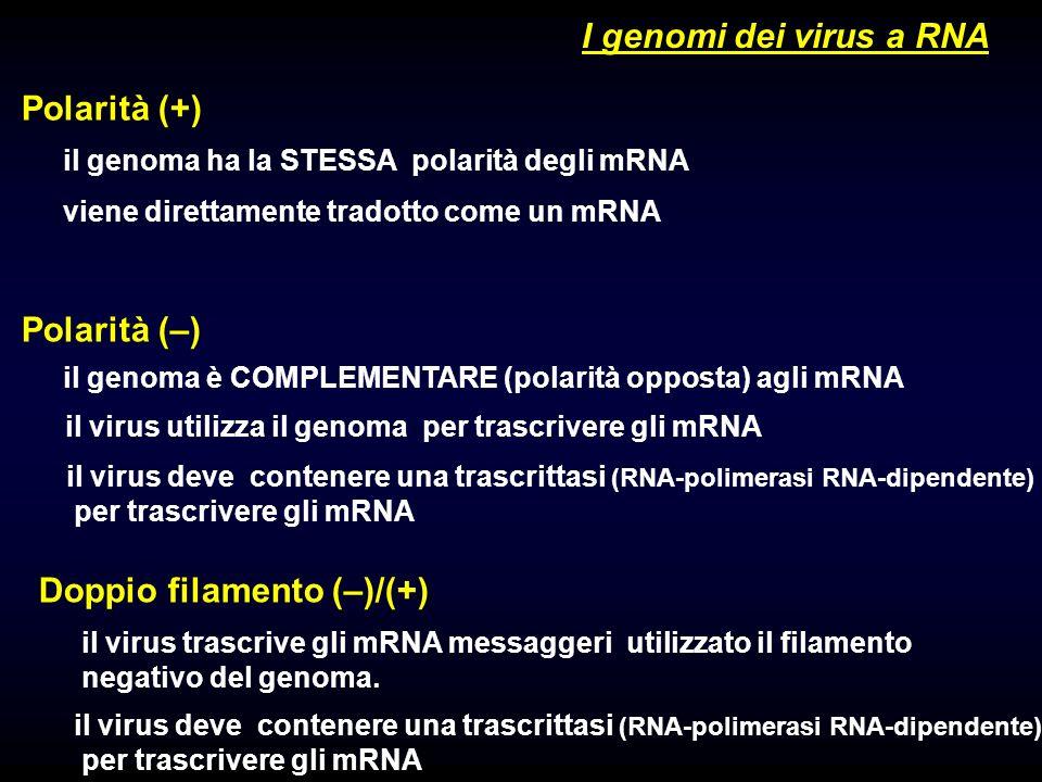 1 I genomi dei virus a RNA Polarità (+) Polarità (–) il genoma ha la STESSA polarità degli mRNA viene direttamente tradotto come un mRNA il genoma è COMPLEMENTARE (polarità opposta) agli mRNA il virus utilizza il genoma per trascrivere gli mRNA il virus deve contenere una trascrittasi (RNA-polimerasi RNA-dipendente) per trascrivere gli mRNA Doppio filamento (–)/(+) il virus trascrive gli mRNA messaggeri utilizzato il filamento negativo del genoma.
