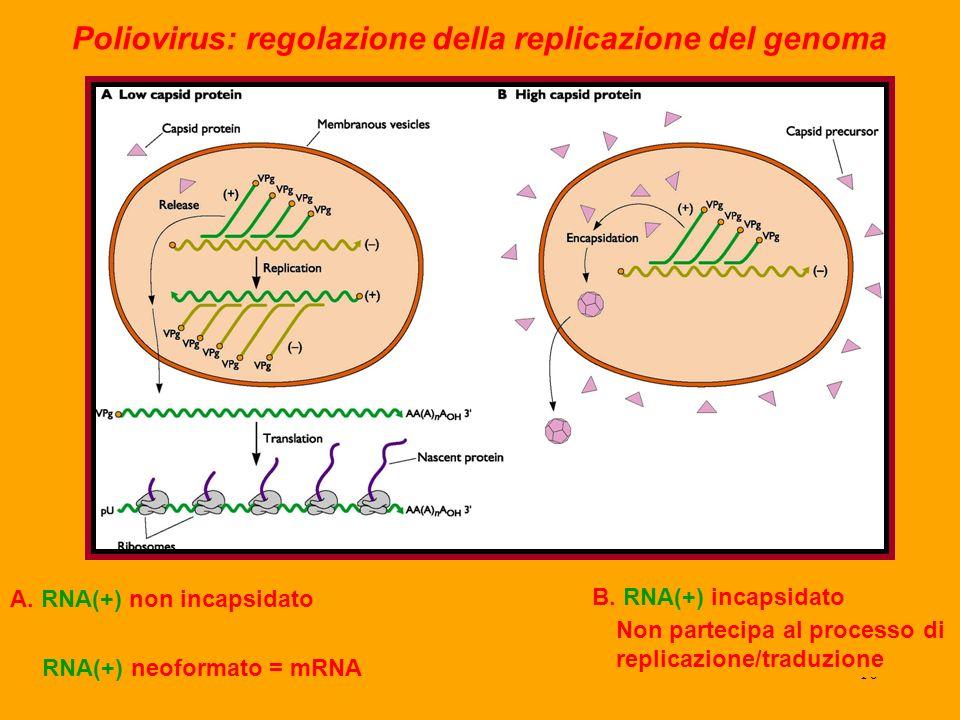 10 Poliovirus: regolazione della replicazione del genoma A.