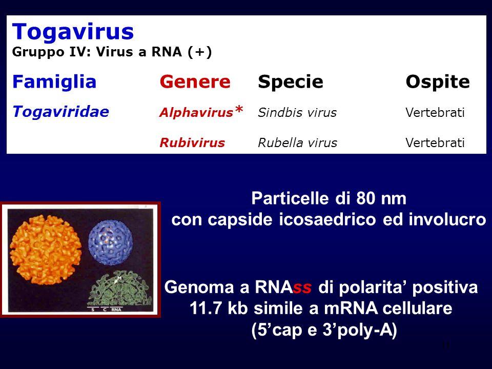 11 Togavirus Gruppo IV: Virus a RNA (+) Famiglia Genere Specie Ospite Togaviridae Alphavirus * Sindbis virus Vertebrati Rubivirus Rubella virus Vertebrati Particelle di 80 nm con capside icosaedrico ed involucro Genoma a RNAss di polarita positiva 11.7 kb simile a mRNA cellulare (5cap e 3poly-A)