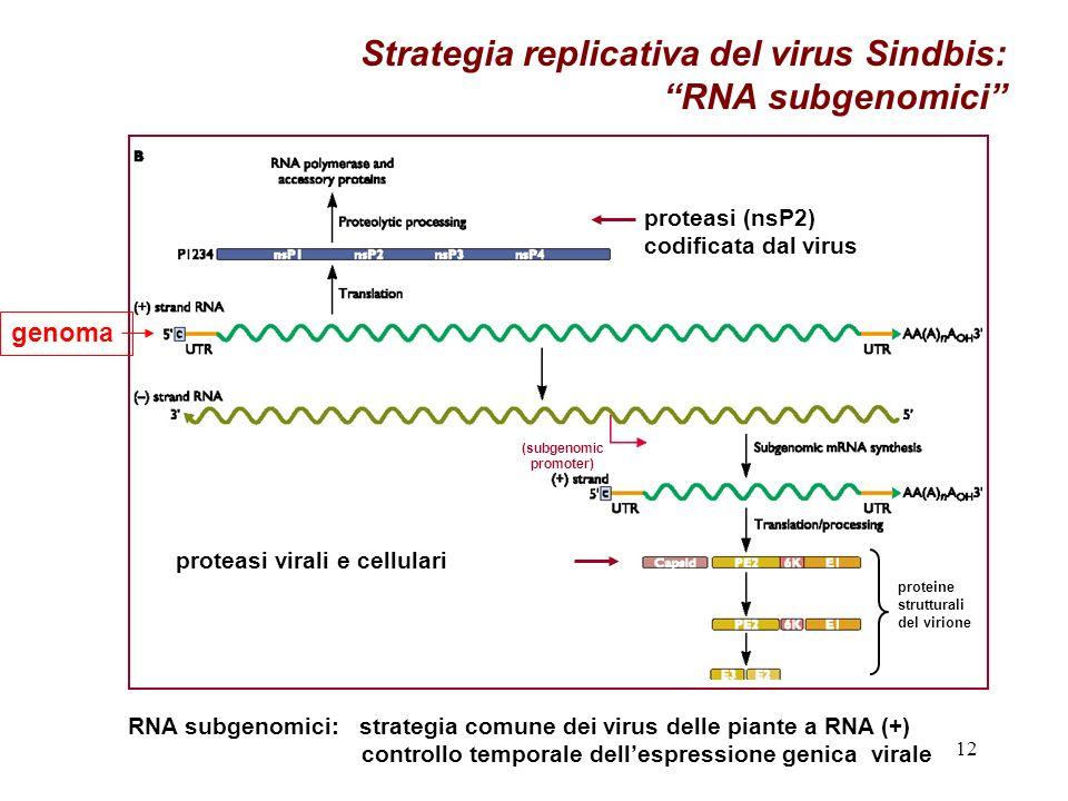12 Strategia replicativa del virus Sindbis: RNA subgenomici RNA subgenomici: strategia comune dei virus delle piante a RNA (+) controllo temporale dellespressione genica virale proteasi virali e cellulari proteasi (nsP2) codificata dal virus (subgenomic promoter) proteine strutturali del virione genoma