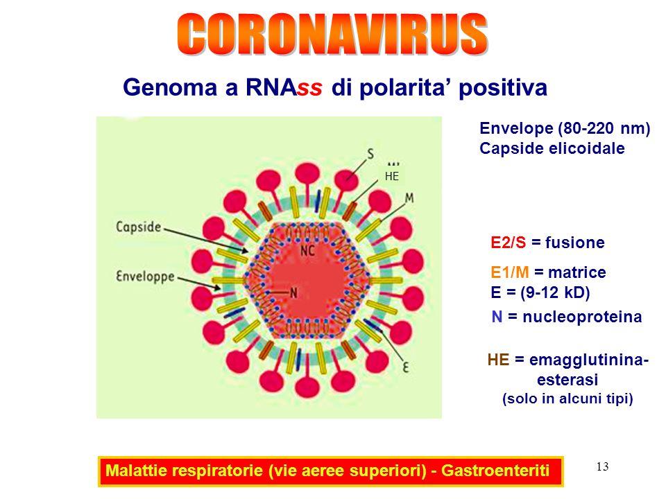13 Genoma a RNAss di polarita positiva Malattie respiratorie (vie aeree superiori) - Gastroenteriti E2/S = fusione E1/M = matrice E = (9-12 kD) N = nucleoproteina Envelope (80-220 nm) Capside elicoidale HE = emagglutinina- esterasi (solo in alcuni tipi) HE