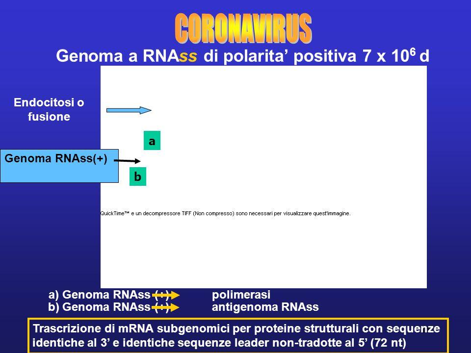 15 Genoma a RNAss di polarita positiva 7 x 10 6 d Trascrizione di mRNA subgenomici per proteine strutturali con sequenze identiche al 3 e identiche sequenze leader non-tradotte al 5 (72 nt) b) Genoma RNAss (+) antigenoma RNAss Endocitosi o fusione Gemmazione dal Golgi Trasporto in vescicole secretorie Genoma RNAss(+) a) Genoma RNAss (+) polimerasi a b