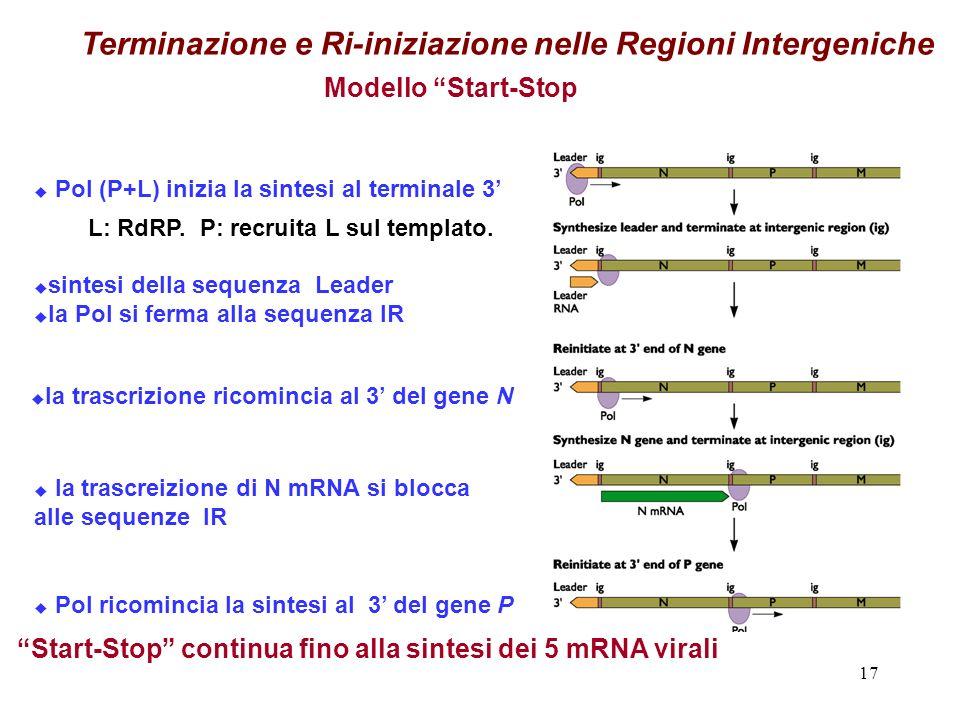 17 Terminazione e Ri-iniziazione nelle Regioni Intergeniche Pol (P+L) inizia la sintesi al terminale 3 sintesi della sequenza Leader la Pol si ferma alla sequenza IR la trascrizione ricomincia al 3 del gene N la trascreizione di N mRNA si blocca alle sequenze IR Pol ricomincia la sintesi al 3 del gene P Modello Start-Stop Start-Stop continua fino alla sintesi dei 5 mRNA virali L: RdRP.