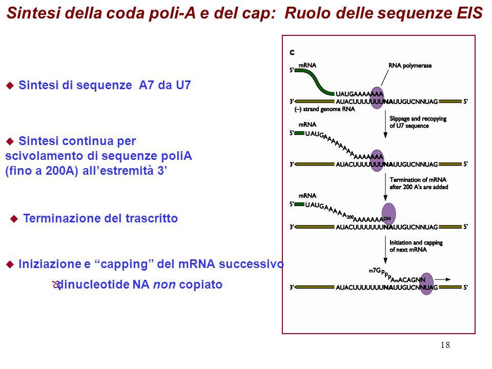 18 Sintesi della coda poli-A e del cap: Ruolo delle sequenze EIS Sintesi di sequenze A7 da U7 Sintesi continua per scivolamento di sequenze poliA (fino a 200A) allestremità 3 Terminazione del trascritto Iniziazione e capping del mRNA successivo dinucleotide NA non copiato