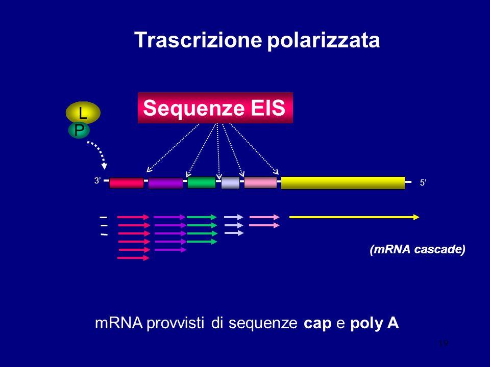 19 3 5 Trascrizione polarizzata mRNA provvisti di sequenze cap e poly A L P Sequenze EIS (mRNA cascade)