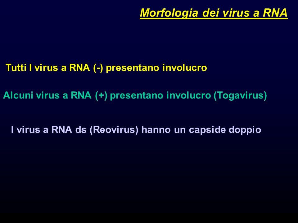2 I virus a RNA ds (Reovirus) hanno un capside doppio Tutti I virus a RNA (-) presentano involucro Alcuni virus a RNA (+) presentano involucro (Togavirus) Morfologia dei virus a RNA