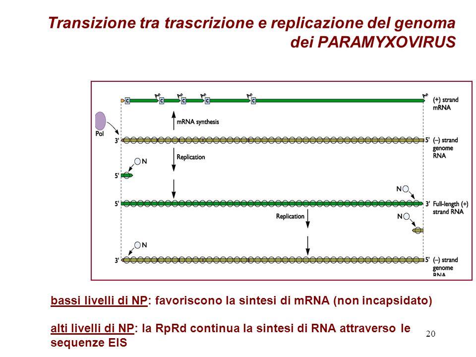 20 Transizione tra trascrizione e replicazione del genoma dei PARAMYXOVIRUS bassi livelli di NP: favoriscono la sintesi di mRNA (non incapsidato) alti livelli di NP: la RpRd continua la sintesi di RNA attraverso le sequenze EIS