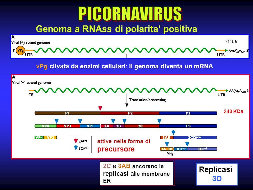 7 2C e 3AB ancorano la replicasi al le membrane ER Genoma a RNAss di polarita positiva 7441 b vPg clivata da enzimi cellulari: il genoma diventa un mRNA 240 KDa Replicasi 3D attive nella forma di precursore