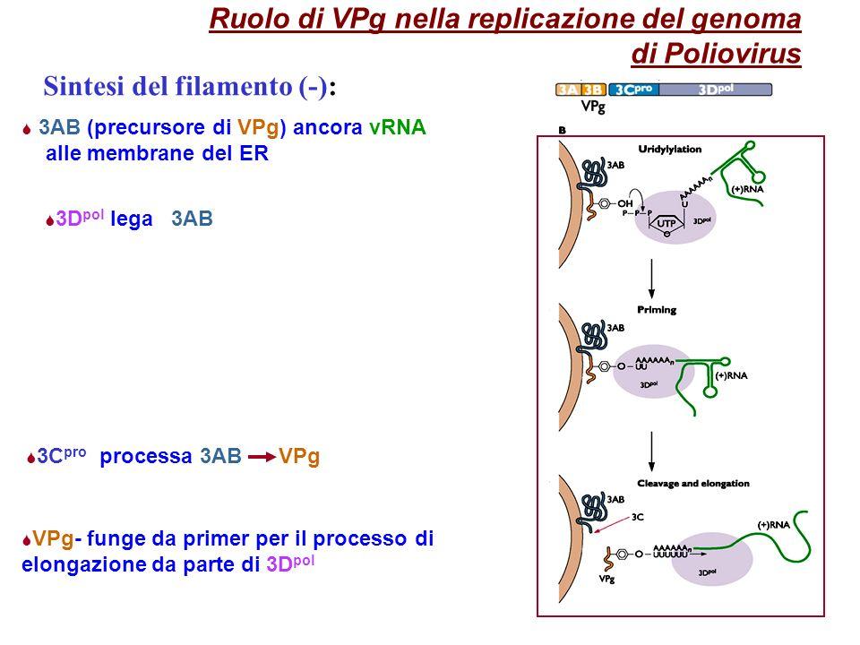 9 Ruolo di VPg nella replicazione del genoma di Poliovirus 3AB (precursore di VPg) ancora vRNA alle membrane del ER 3C pro processa 3AB VPg 3D pol lega 3AB VPg- funge da primer per il processo di elongazione da parte di 3D pol Sintesi del filamento (-):
