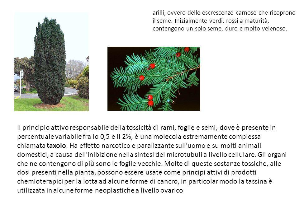 Rosaceae Come erba medicinale il biancospino è usato come ricostituente, antidiarroico, ipotensivo e cardiotonico.