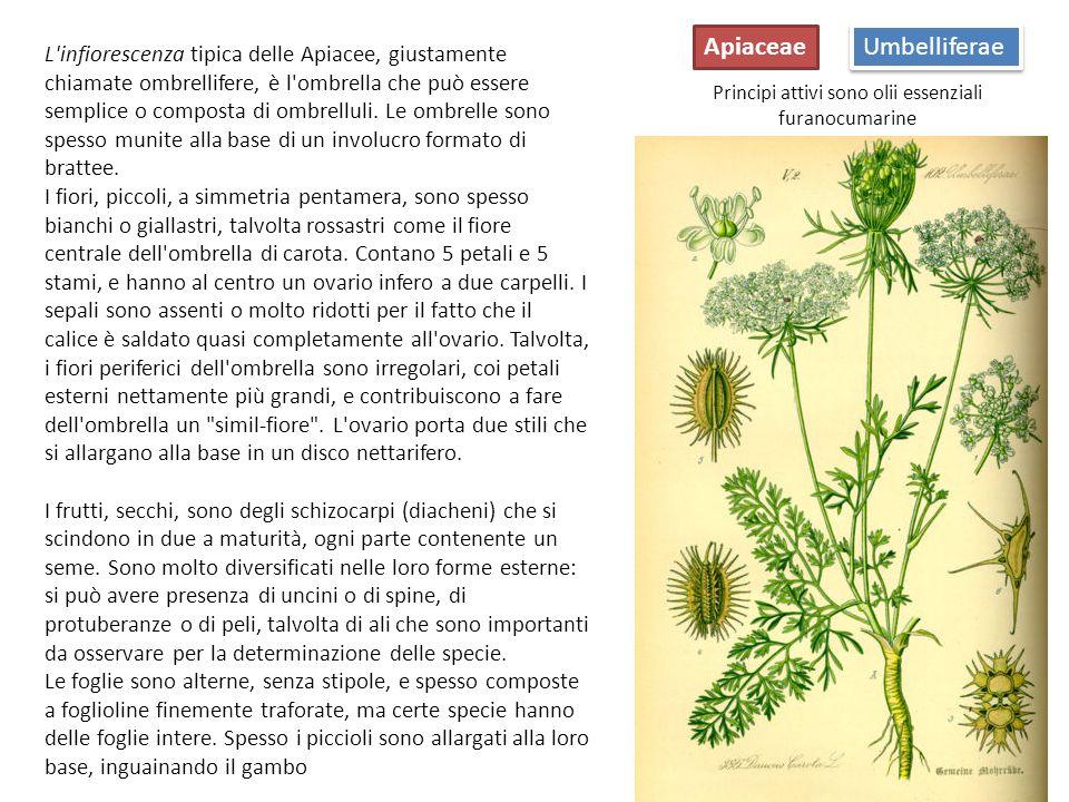 Umbelliferae Apiaceae Cicuta: Conium maculatum Daucus carota Tutta la pianta è notevolmente velenosa e può portare alla morte.