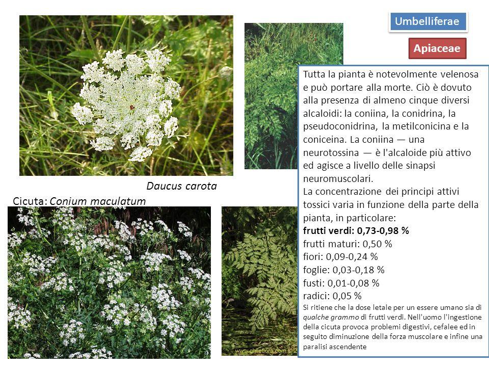 La cicuta minore (Aethusa cynapium L.), annuale o bienne a seconda delle sottospecie, è detta anche falso prezzemolo.