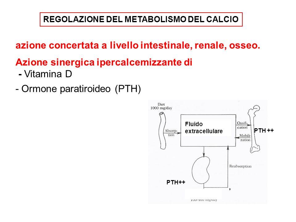 azione concertata a livello intestinale, renale, osseo. Azione sinergica ipercalcemizzante di - Vitamina D - Ormone paratiroideo (PTH) REGOLAZIONE DEL
