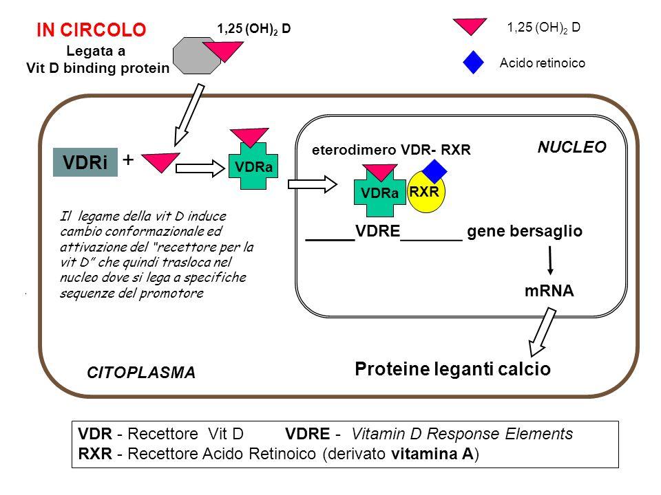 ____ VDRE _____ gene bersaglio mRNA eterodimero VDR- RXR VDR - Recettore Vit D VDRE - Vitamin D Response Elements RXR - Recettore Acido Retinoico (der