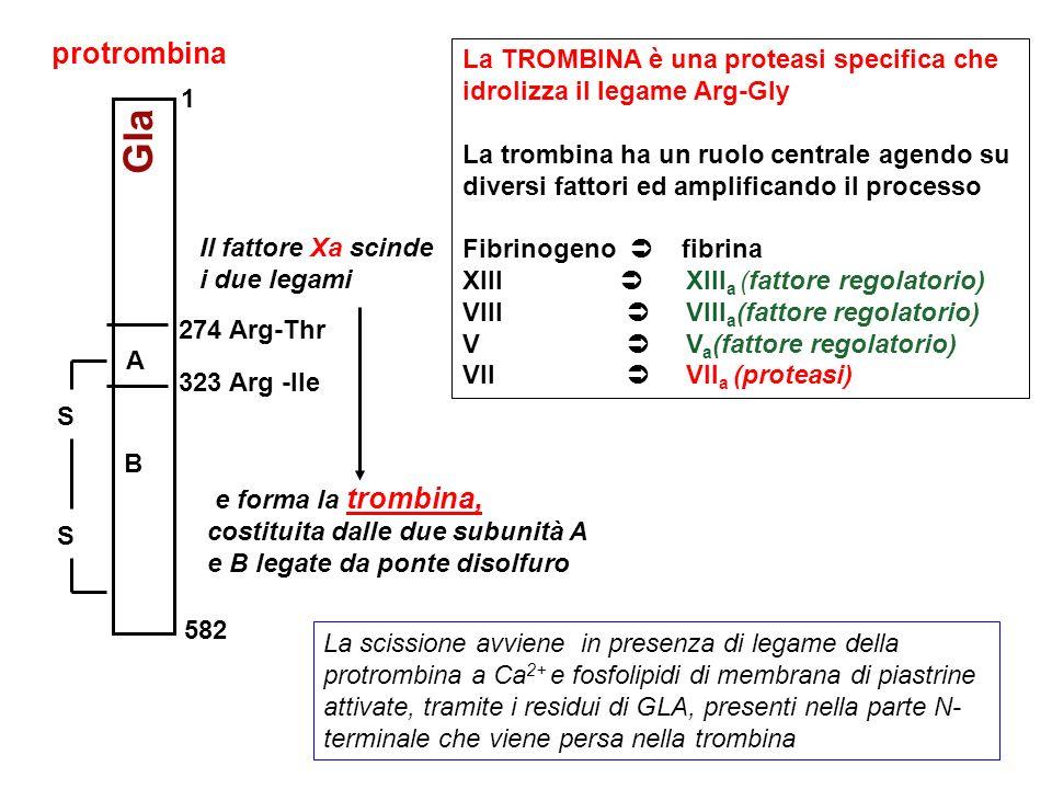 La TROMBINA è una proteasi specifica che idrolizza il legame Arg-Gly La trombina ha un ruolo centrale agendo su diversi fattori ed amplificando il pro