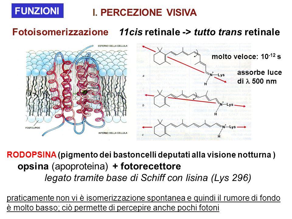 RODOPSINA (pigmento dei bastoncelli deputati alla visione notturna ) opsina (apoproteina) + fotorecettore legato tramite base di Schiff con lisina (Ly
