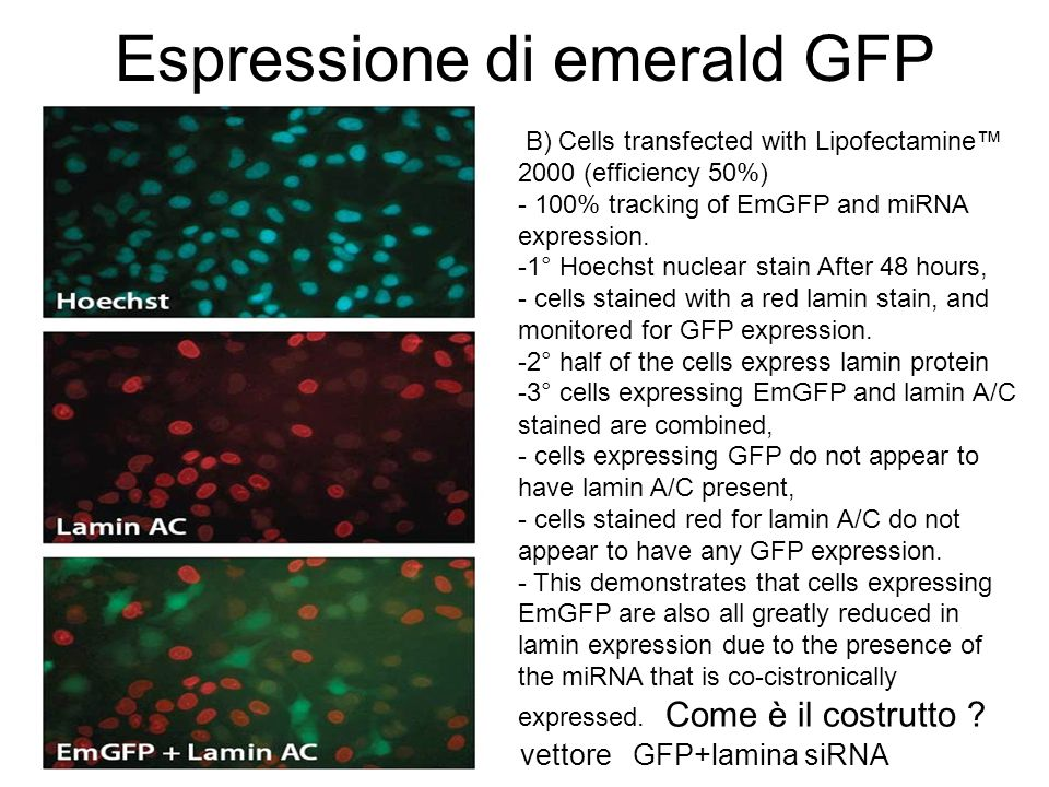 Espressione di emerald GFP B) Cells transfected with Lipofectamine 2000 (efficiency 50%) - 100% tracking of EmGFP and miRNA expression. -1° Hoechst nu