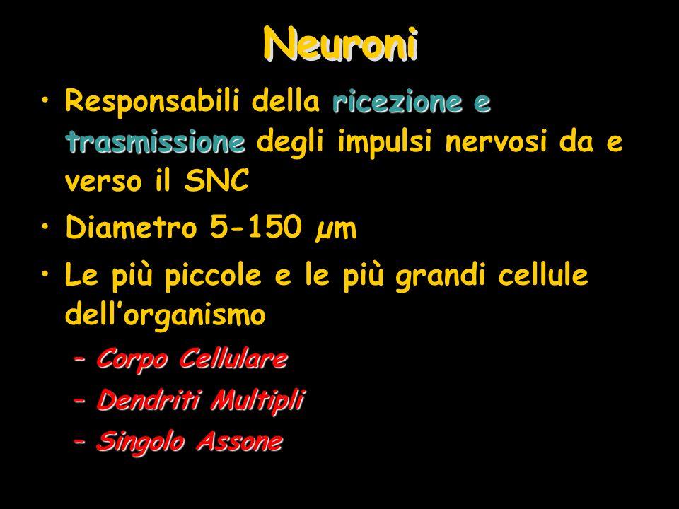 Neuroni ricezione e trasmissioneResponsabili della ricezione e trasmissione degli impulsi nervosi da e verso il SNC Diametro 5-150 µm Le più piccole e