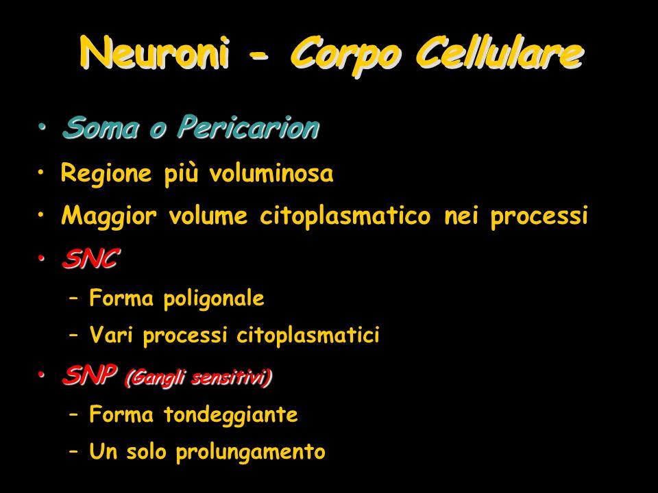 Neuroni - Corpo Cellulare Soma o PericarionSoma o Pericarion Regione più voluminosa Maggior volume citoplasmatico nei processi SNCSNC –Forma poligonal