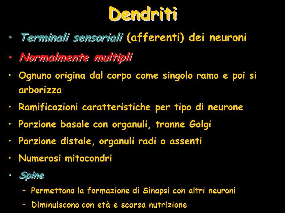 Dendriti Terminali sensorialiTerminali sensoriali (afferenti) dei neuroni Normalmente multipliNormalmente multipli Ognuno origina dal corpo come singo