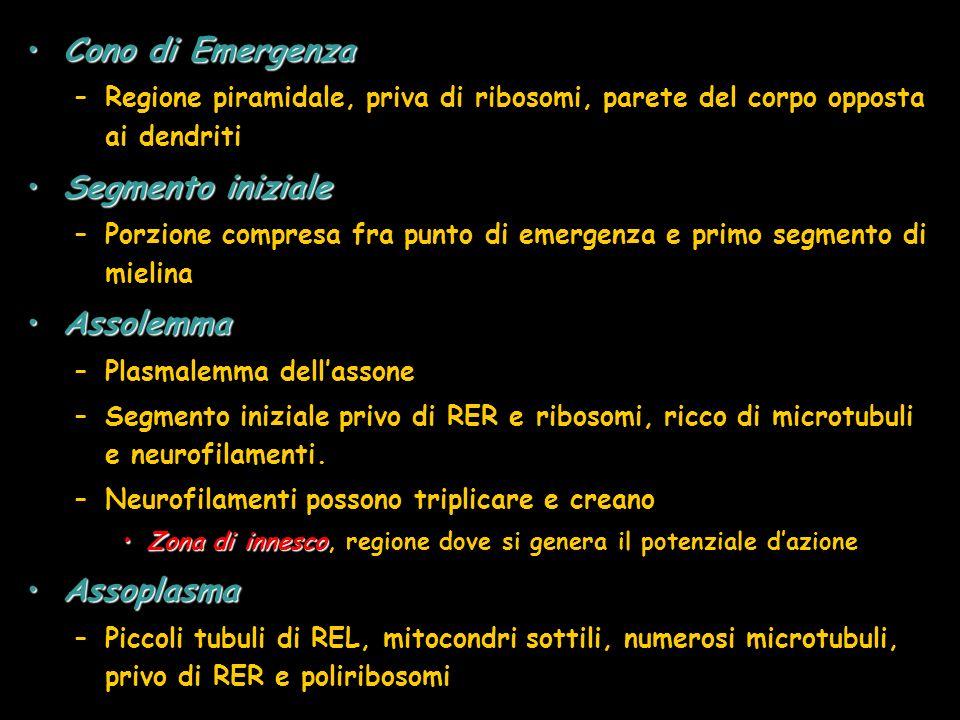 Cono di EmergenzaCono di Emergenza –Regione piramidale, priva di ribosomi, parete del corpo opposta ai dendriti Segmento inizialeSegmento iniziale –Po