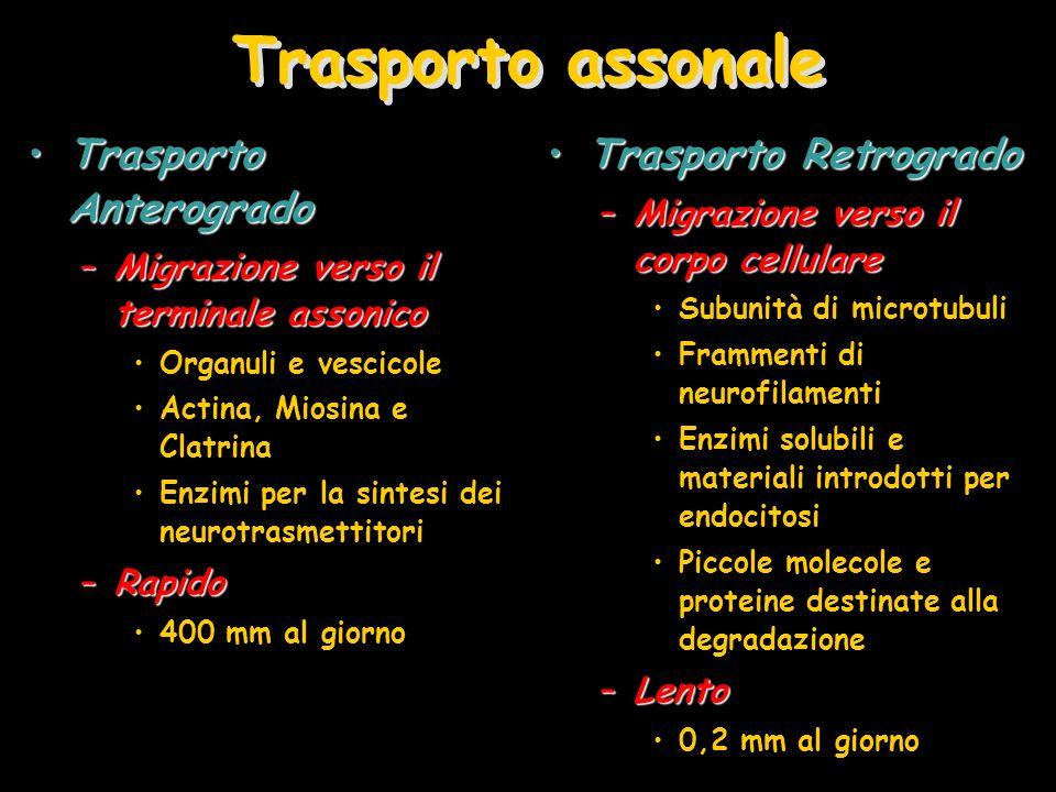 Trasporto assonale Trasporto AnterogradoTrasporto Anterogrado –Migrazione verso il terminale assonico Organuli e vescicole Actina, Miosina e Clatrina