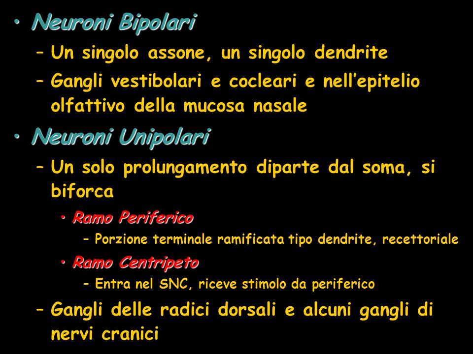 Neuroni BipolariNeuroni Bipolari –Un singolo assone, un singolo dendrite –Gangli vestibolari e cocleari e nellepitelio olfattivo della mucosa nasale N