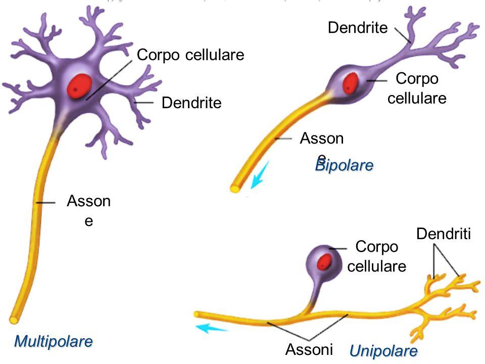 Corpo cellulare Asson e Assoni Dendrite Dendriti Multipolare Unipolare Bipolare