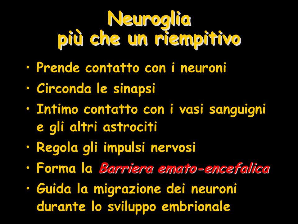 Neuroglia più che un riempitivo Prende contatto con i neuroni Circonda le sinapsi Intimo contatto con i vasi sanguigni e gli altri astrociti Regola gl