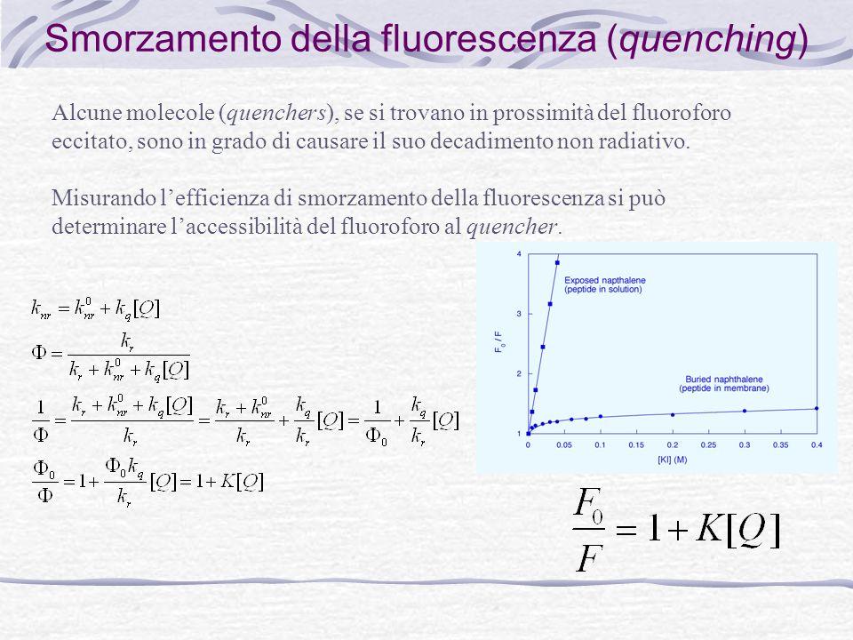 Smorzamento della fluorescenza (quenching) Alcune molecole (quenchers), se si trovano in prossimità del fluoroforo eccitato, sono in grado di causare