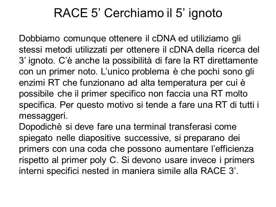 RACE 5 Cerchiamo il 5 ignoto Dobbiamo comunque ottenere il cDNA ed utiliziamo gli stessi metodi utilizzati per ottenere il cDNA della ricerca del 3 ig
