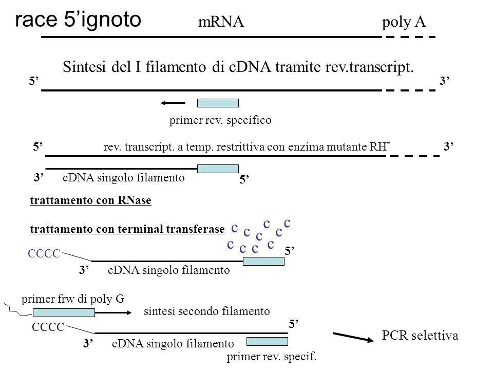 mRNApoly A Sintesi del I filamento di cDNA tramite rev.transcript. primer rev. specifico 53 53 5 3cDNA singolo filamento rev. transcript. a temp. rest