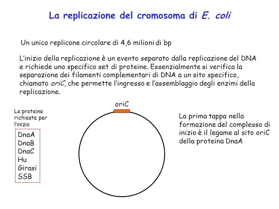 La replicazione del cromosoma di E. coli Un unico replicone circolare di 4,6 milioni di bp Linizio della replicazione è un evento separato dalla repli